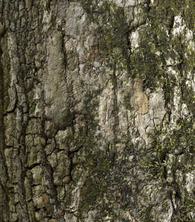 Mossy tree bark 0007