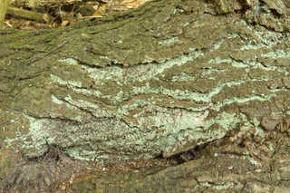 Mossy tree bark 0008