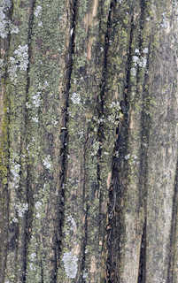 Mossy tree bark 0011