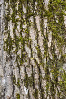 Mossy tree bark 0013