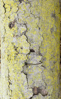 Mossy tree bark 0014
