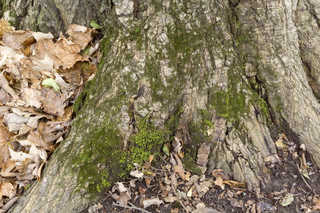 Mossy tree bark 0015