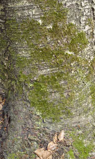 Mossy tree bark 0016