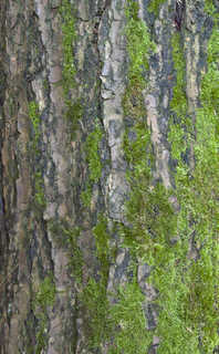 Mossy tree bark 0017