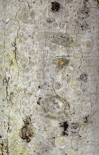Mossy tree bark 0018