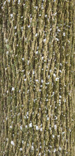 Mossy tree bark 0019