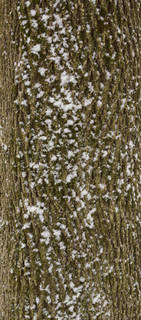 Mossy tree bark 0020