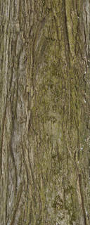 Mossy tree bark 0021