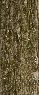 Mossy tree bark 0023