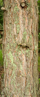 Mossy tree bark 0025