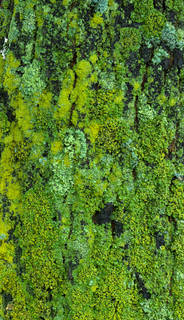 Mossy tree bark 0026