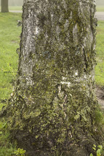 Mossy tree bark 0035