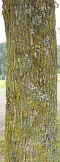 Mossy tree bark 0037
