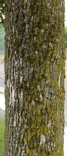 Mossy tree bark 0039