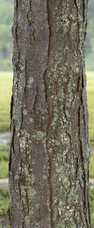 Mossy tree bark 0040