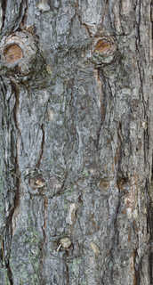Rough tree bark 0001