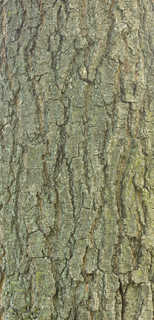Rough tree bark 0002