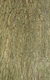 Rough tree bark 0003