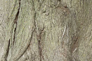Rough tree bark 0004