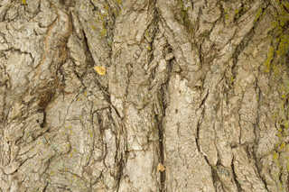 Rough tree bark 0005