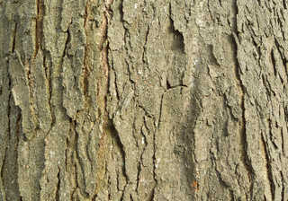 Rough tree bark 0006