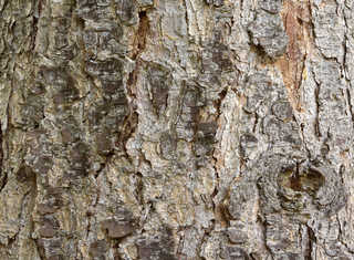 Rough tree bark 0007