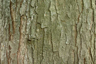 Rough tree bark 0008
