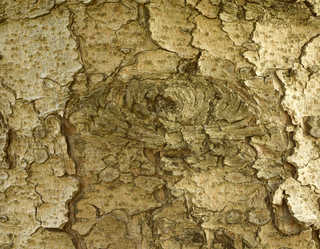 Rough tree bark 0009
