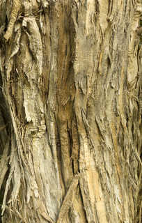 Rough tree bark 0010