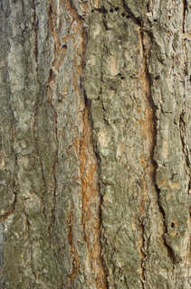 Rough tree bark 0011