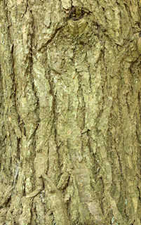 Rough tree bark 0014