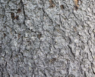 Rough tree bark 0015