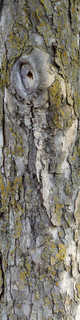 Rough tree bark 0016