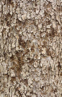 Rough tree bark 0019