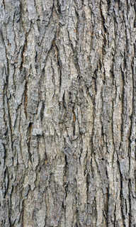 Rough tree bark 0021