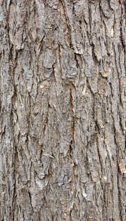 Rough tree bark 0022