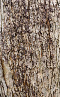 Rough tree bark 0024
