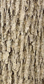 Rough tree bark 0025