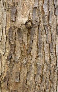 Rough tree bark 0026