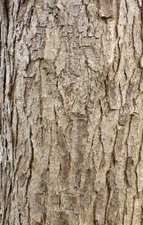 Rough tree bark 0027
