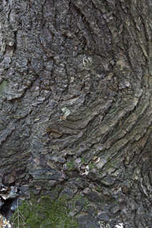 Rough tree bark 0028
