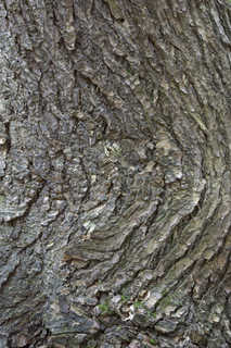 Rough tree bark 0030