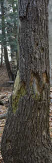 Rough tree bark 0033