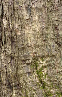 Rough tree bark 0037