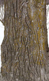 Rough tree bark 0041