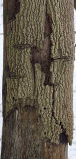 Rough tree bark 0042