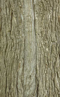 Rough tree bark 0045