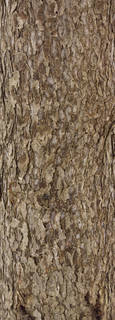 Rough tree bark 0052