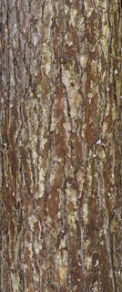 Rough tree bark 0054