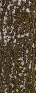 Rough tree bark 0055